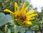 sunflower-bees