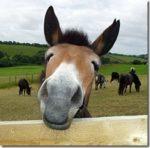 Mule-SNout_thumb.jpg